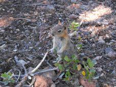 Wizard Island Ground Squirrel